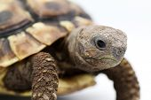 image of testudo  - Testudo hermanni tortoiseon a white isolated background - JPG