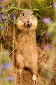 Standing Ground Squirrel
