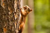 stock photo of ground nut  - Squirrel on walking on tre with nut - JPG