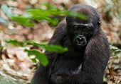 picture of gorilla  - Portrait of a western lowland gorilla  - JPG