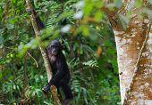 Bonobo Cub On A Tree Branch.