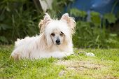 Chinese Crested Dog Lary