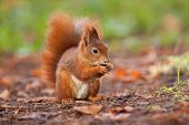 image of hirsutes  - Ginger squirrel with nut in Mlada Boleslav
