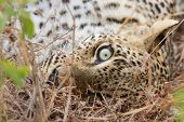 Closeup Of Leopard Eye Lying Down In Grass Relaxing