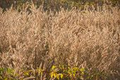 Foxtail Weed Grass Flowers In Golden Light Background.