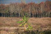 Rubber Plantation And Banana Tree.