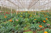 Plantation of gerbera in greenhouse
