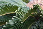 Palm Cycas Revoluta Closeup