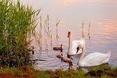 Swans with nestlings at  sunset