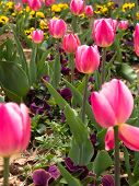 Red and pink tulips in the garden