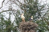 Stork Family In Nest