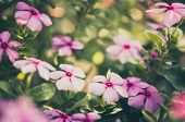 Catharanthus Roseus Or Periwinkle Vintage