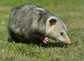 picture of opossum  - Virginia Opossum is climbing in the grass in Virginia - JPG