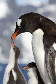 Female Gentoo Penguins And Chicks During Feeding
