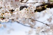 White Cherry Blossoms Before Light Blue Sky Close Up
