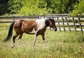 picture of appaloosa  - Photo of a beautiful brown and white Appaloosa painted horse grazing in a pasture.