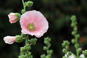 stock photo of hollyhock  - the beautiful hollyhock flower in the garden - JPG