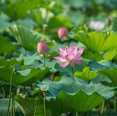 lotus flower in blooming