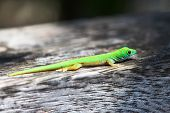 Green gecko lizard at Seychelles, La Digue.