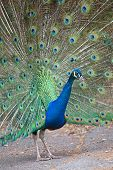 picture of indian peafowl  - Portrait of an indian peafowl  - JPG