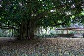 Balinese Holy Tree At Autumn.
