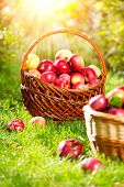 Organic Apples in a Basket outdoor. Orchard. Autumn Garden. Harvest season concept. Harvesting.  Pic