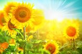 picture of sunflower  - Sunflower field - JPG