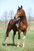 stock photo of pinto  - Gorgeous pinto stallion with nice bridle standing - JPG