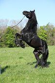Gorgeous Black Stallion Prancing