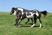 Gorgeous Black And White Stallion Of Paint Horse Running