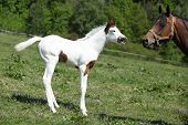 stock photo of paint horse  - Amazing paint horse foal with mare on pasturage - JPG