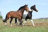Two Amazing Horses Running On Spring Pasturage
