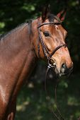 Potrait Of Beautiful Horse With Bridle