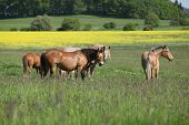 Batch Of Horses Standing On Flowering Pasturage