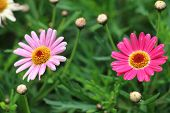 stock photo of bud  - Daisy flowers and buds,red and pink Daisy flowers display blooming and budding in the garden