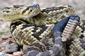 image of blacktail  - An arizona blacktail rattlesnake in Ramsey Canyon - JPG