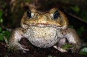 The introduced Cane Toad in Costa Rica
