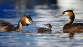 Crested grebe, podiceps cristatus, ducks family