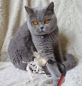 british shorthair blue cat playing