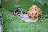 Snail vine