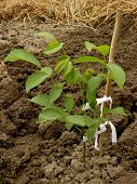 walnut tree sapling two months from germination