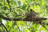 Robin Guarding Her Nest