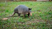 foto of armadillo  - Nine-Banded Armadillo in Costa Rica in green grassy field.