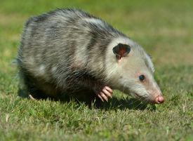 image of opossum  - Virginia Opossum is climbing in the grass in Virginia - JPG