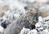 Wild iguana.