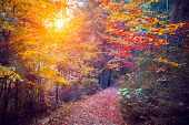 Majestic colorful forest with sunny beams. Red autumn leaves. Carpathians, Ukraine, Europe. Beauty world