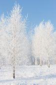 Birchwood In Hoarfrost On A Sunny Winter Day