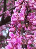 redbud flowers cercis 01