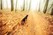 Motion Blurred Running Dog In Autumnal Forest.