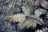 Spruce Branches, Photo Background With Toned Filter Effect